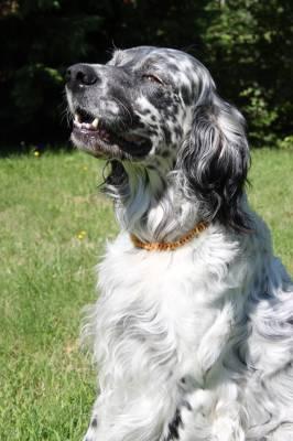 Collier ambre pour chien anti tique anti puce